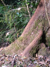 giant buttruss roots on a rainforest tree