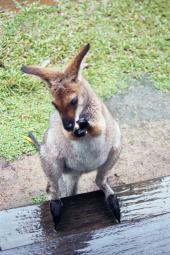 cleo the red necked wallaby at our steps
