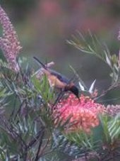 eastern spinebill honeyeater