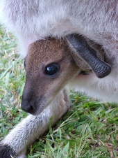 red necked wallaby joey
