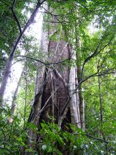 rainforest tree with strangler fig